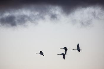 "Frank Brehe ""4 swans"""