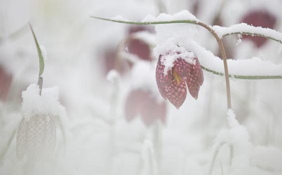 """Frank Brehe """"Schachbrettblume im Schnee I"""""""