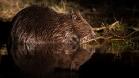 """Frank Brehe """"Beaver"""""""