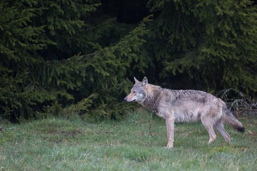 """Frank Brehe """"Ein Wolf"""""""