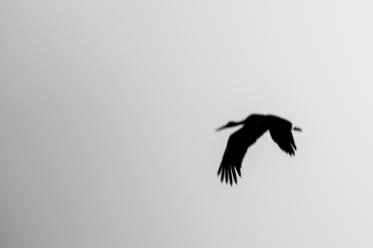 """Frank Brehe """"Black Stork"""""""