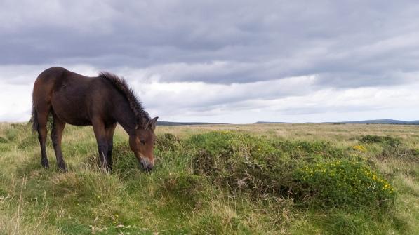 """Frank Brehe """"Ponyfohlen / Dartmoor"""""""