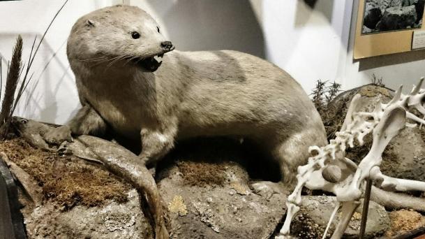 """Frank Brehe """"Fischotter / Zoologische Sammlung, Uni Aberdeen"""""""