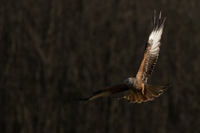 "Frank Brehe ""red kite I"""