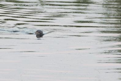 """Frank Brehe """"Otter, 22.07., 20.50 Uhr"""""""