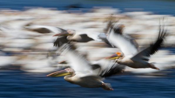 3-pelikane